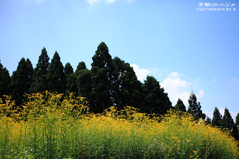 KOSHIHATA-027